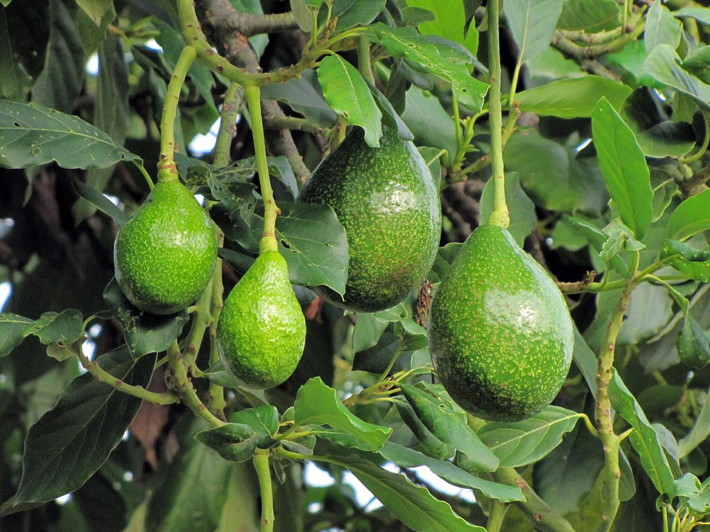 Avocatier1