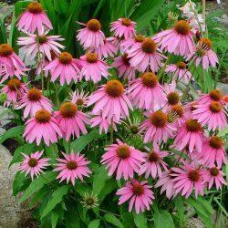 Echinaceae purpurea 2