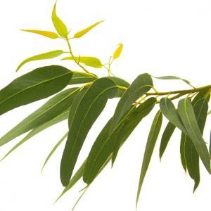 Eucalyptus radiata feuilles