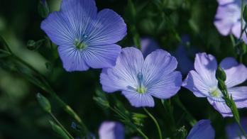Fleur de lin 101ko