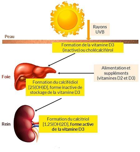 Formation vitamine d3