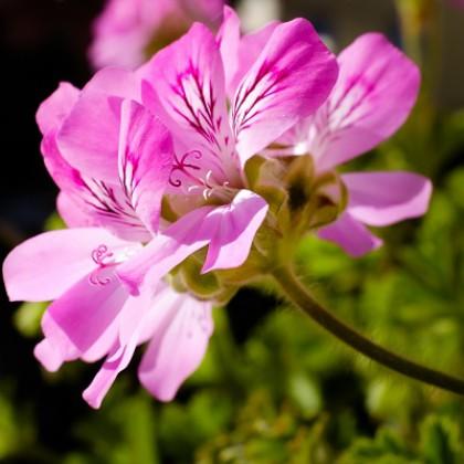 Geranium rosat 400x400