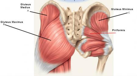 Gluteals and piriformis