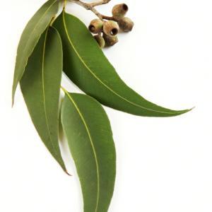 eucalyptus radiata bio 2