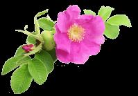 Huile vegetale rosier muscat bio 1