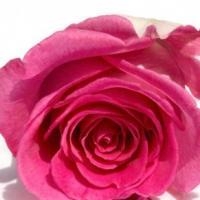 Rose de damas 536844 large 300x291