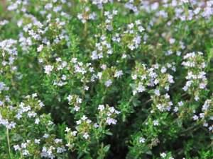 Thym thymol plante